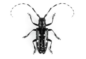 Bug off: The third annual Swimming Pool Survey aims to help New York  officials prevent Asian longhorned beetles from killing maples and other  hardwood trees.