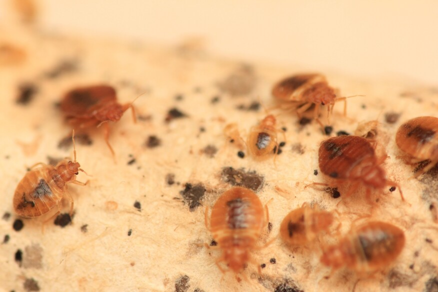 Bedbugs are flat and round, but very tiny. Adults are about 2 millimeters to 3 millimeters in length and brown in color, but they can appear reddish if they've fed recently.