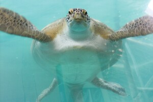 Tank task: Gerry, the Atlantic green sea turtle, swims in his 25,000