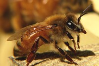 Building Material Chemical Is Contributing to Honeybee Crisis