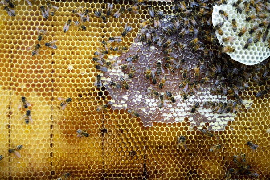 Hive frame with visible honey and wax construction in the Synthetic Apiary environment.
