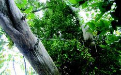 Using cabling to improperly support branches led to the girdling and eventual death of this tree.