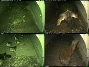 "Washington County's tunnel has helped several species cross under Highway 4 safely. From top left clockwise: painted turtle, snapping turtle, mink, ducks. ""Last August, our first snapping turtle come through,"" county park manager Peter Mott says. ""This June, a lot more came through. So yes, turtles are using the turtle tunnel."""