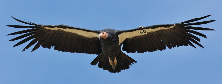 A flying condor photographed off of California's Pacific Coast Highway.