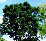 Tree of the year announced