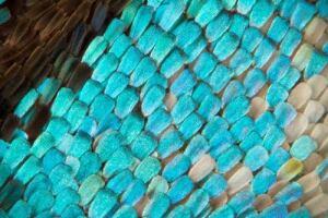 Detail of butterfly wing, revealing the effects of photonic crystals.