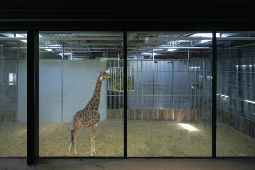 Back-of-house area in the giraffe enclosure.