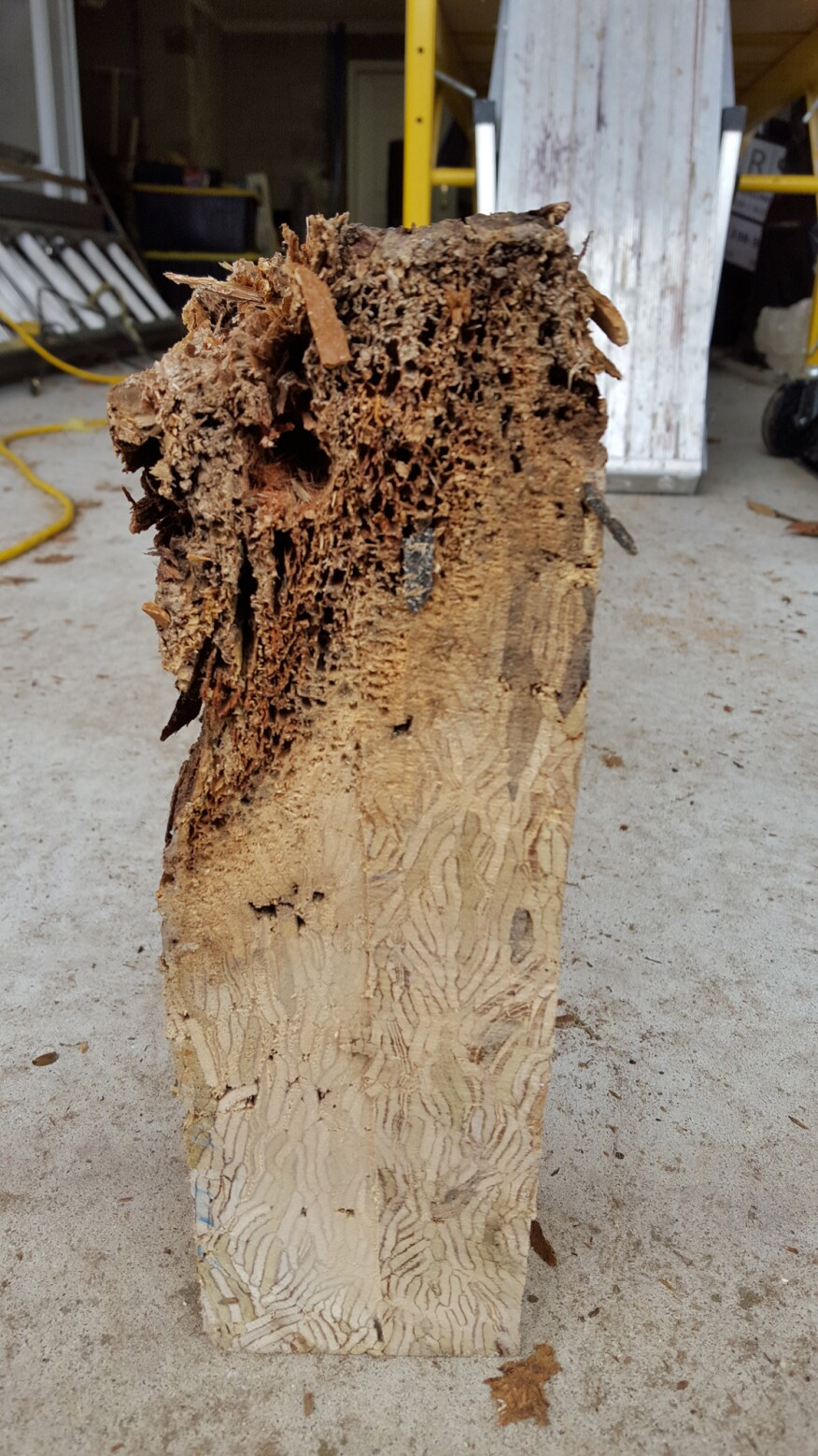 There is a myth that all the adhesive in some types of engineered wood means they are less prone to rot. Not so. Here, an untreated Parallam beam that was extracted from the building shows just how rotten the bottom of an engineered beam can get from sitting in a trough created by poorly designed aluminum capping.