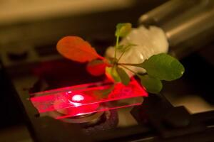 The researchers read the added sensors in an Arabidopsis thaliana plant with a near-infrared microscope.