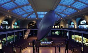 The Milstein Hall of Ocean Life at the American Museum of Natural History in New York City. Renovated and relit in 2002–03, the 6,000-square-foot skylight provides the perfect ocean-like backdrop for the Hall's main feature—the 94-foot-long model of a blue whale.