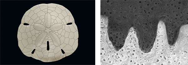 Outlines of the plates comprising a sand dollar (left) and their microscopic joints.