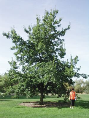 A 9-year-old Texas red oak.