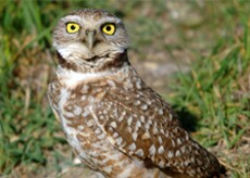 The California burrowing owl, a species of concern whose habitat crosses the Banning Ranch property.