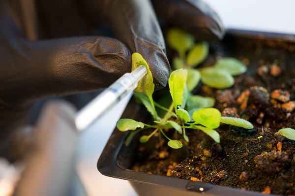 Nanoparticles are added to the leaves of a Arabidopsis thaliana plant.