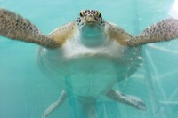 IPSSA Tackles Turtle Project