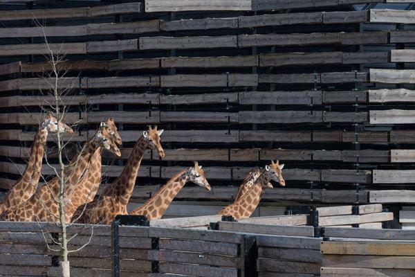 Giraffes walking in front of their wood-slat-clad habitat.