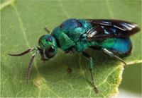 First discovered in Michigan in 2002, the emerald ash borer, native to Asia, has since traveled to at least 10 other U.S. states, as well as Canada.