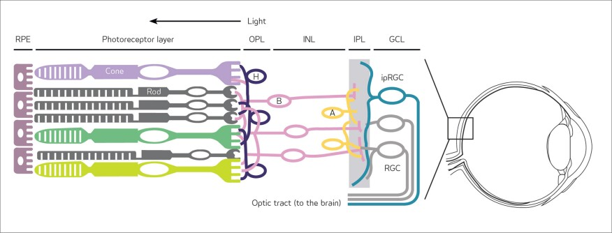Detail of retina in the human eye