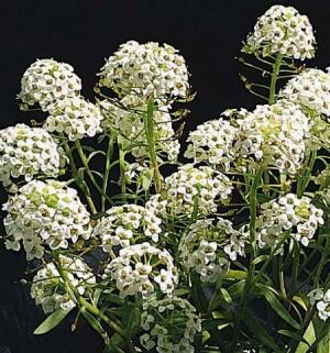 Sweet Alyssum, a flower proposed for the Cleaning Land for Wealth (CL4W) project