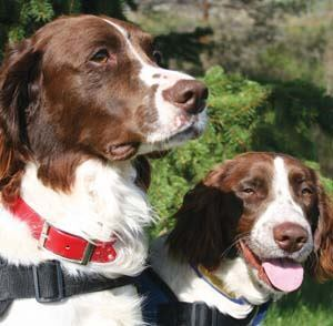 While border collies are commonly used for goose patrol, English springer spaniels like [from left] Rocket and Tango are natural bird dogs. Goose dogs can be hired or purchased through agencies like Sacramento, Calif.-based Dog & Whistle Goose Control. For a list of agencies, click here. Photo: Tamara Taylor