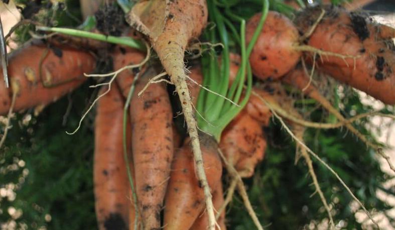 USDA carrots.