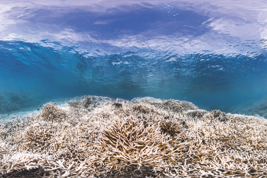 For the past three years, climate change has brought rising water temperatures and plummeting pH levels to the world's ocean reefs, causing an unprecedented bleaching of living corals. U.S. reefs such as those in American Samoa (pictured) were especially hard-hit. If we don't sharply reduce CO2 emissions, which cause seawater to become hotter and more acidic, by 2100 all 29 World Heritage–listed coral reefs, including Australia's Great Barrier Reef, will be lifeless.