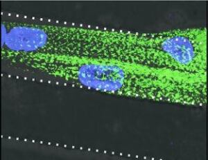 Engineered human muscle tissue