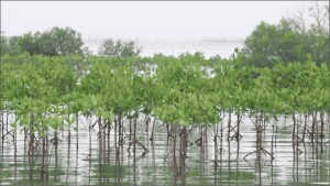 Mangrove forests that shield shorelines from damaging storms are an example of a natural system that can help protect communities from disasters.
