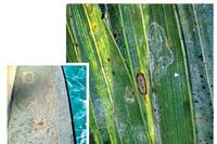 Invasive Whitefly 'Sucking Chlorine' from Florida Pools