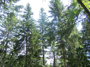 Norway Spruce in a Maine forest