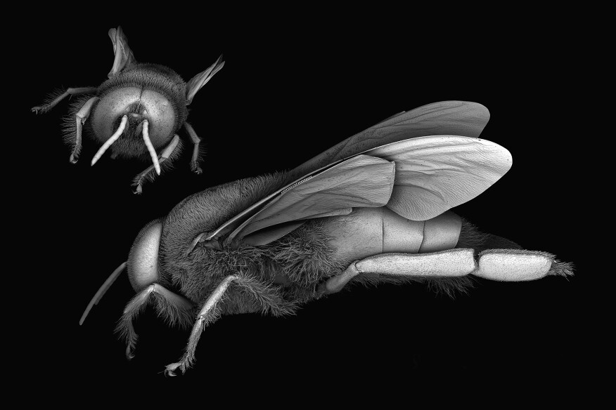 Scanning electron microscope images of the honey bee