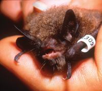 Concern for the endangered Myotis sodalis (a.k.a. the Indiana Bat) has increased scrutiny of federally funded projects throughout the East Coast and into the Midwest. Photo: Ron Fields