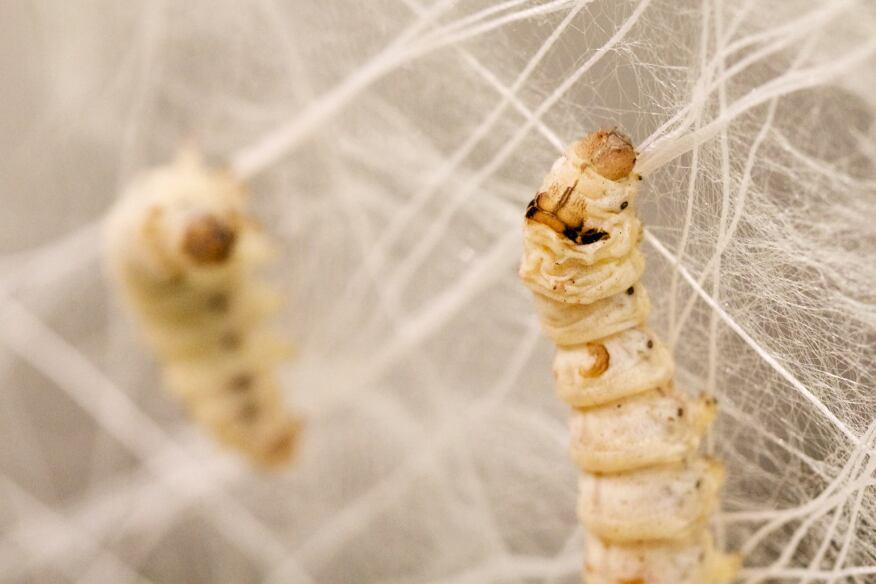 Silk worm (Bombyx mori) larval weavers
