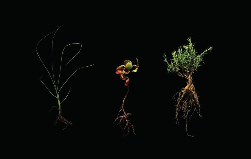 In KieranTimberlake's extensive survey of roof gardens, it identified species that were planned, had thrived, or were rogue (l to r, respectively): prairie dropseed (Sporobulis heterolepsis); two-row stonecrop (Sedum spurium fuldaglut); moss pink, pink phlox (Phlox subulata)