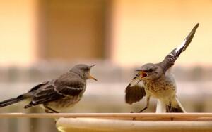 Mockingbirds arguing