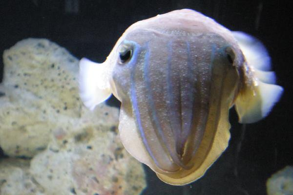 A cuttlefish at Boston's New England Aquarium.
