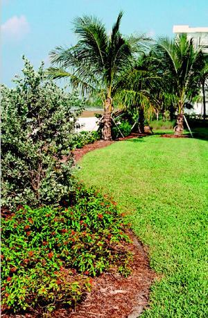 To create a visual buffer between the beach and the grounds of this Ft. Meyers resort, McCarley used firebush and silver buttonwood (foreground), with coconut palms and cordgrass (background).