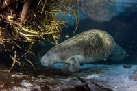 A New Home for the Manatees