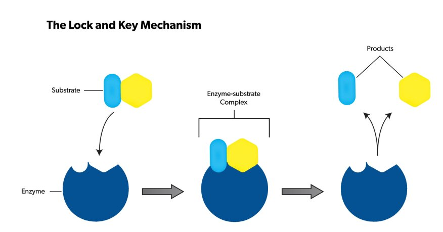 Enzymes often are explained through a lock-and-key model as shown above.