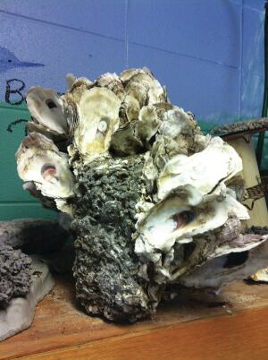 OysterKrete is designed to attract oyster larvae and to provide a surface for colonization.