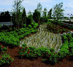 In combination with the porous asphalt pavement, rain gardens in swales  can manage 100 percent of a site's stormwater.
