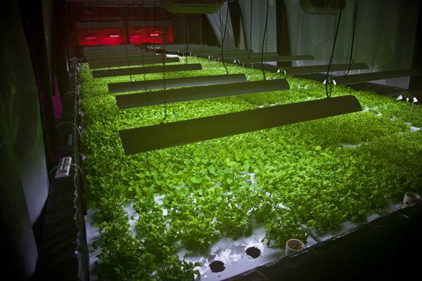 The Plant's hydroponic farms use water derived from the facility's aquaculture farms, which is rich in nitrates excreted by the fish.