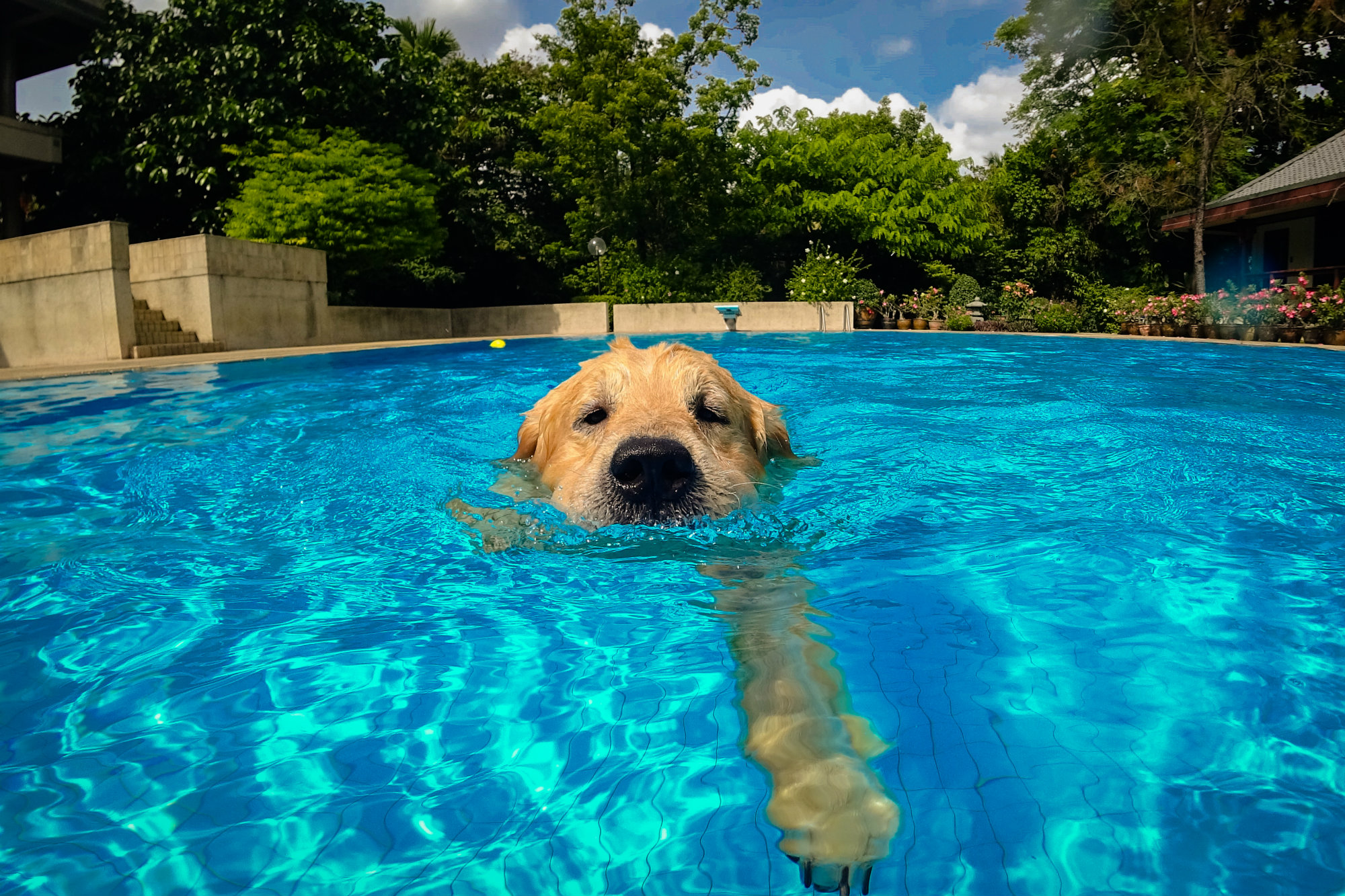 Pool Puppies How To Guide New Dog Owners Pool Spa News