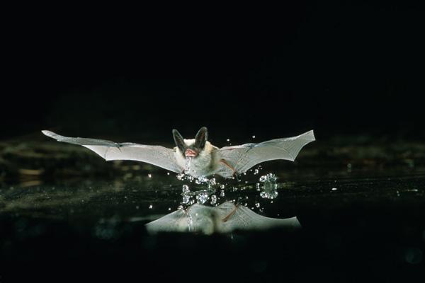 University Studies Bats In Pools Pool Amp Spa News