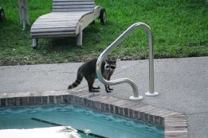 Raccoons can, and do, poop in the pool.